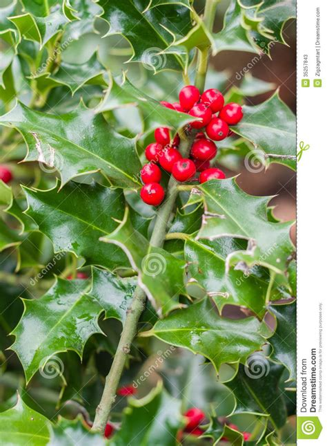 Holly Bush With Red Berries Stock Photos - Image: 35257843
