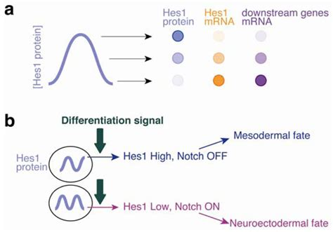 Genes | Free Full-Text | Hes1 Oscillations Contribute to