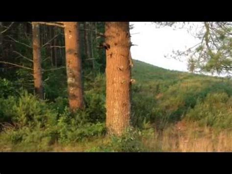 Raccoons fight Fisher cat