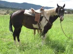 Black & White Paint 8 yr old Quarter Horse Mare in Foal