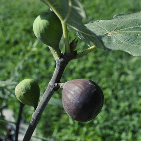 Chicago Hardy Fig - Fig Trees - Stark Bro's