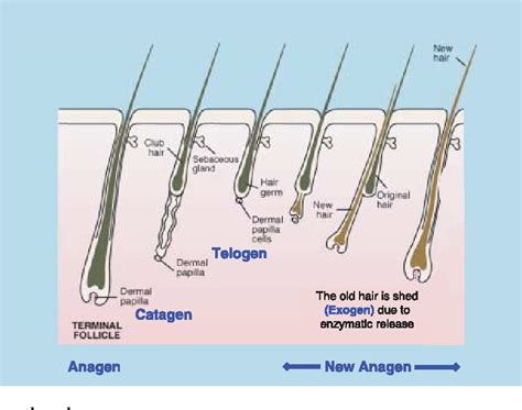 Androgens and hair growth