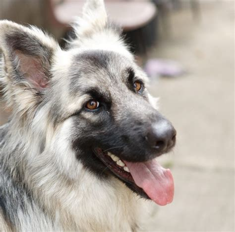 Blade - 22 month old male German Shepherd Dog available
